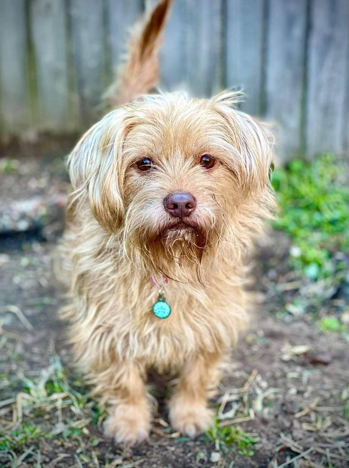 Paisley, an adopted Yorkshire Terrier & Cairn Terrier Mix in Spring, TX