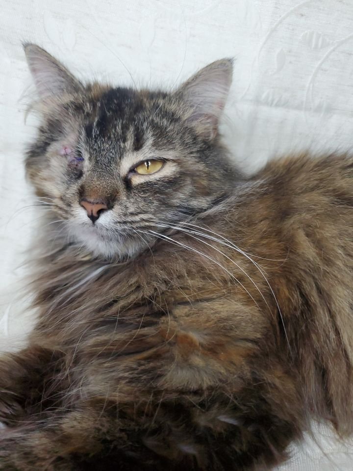Aeress A-2744, an adoptable Domestic Long Hair & Maine Coon Mix in Eaton Rapids, MI