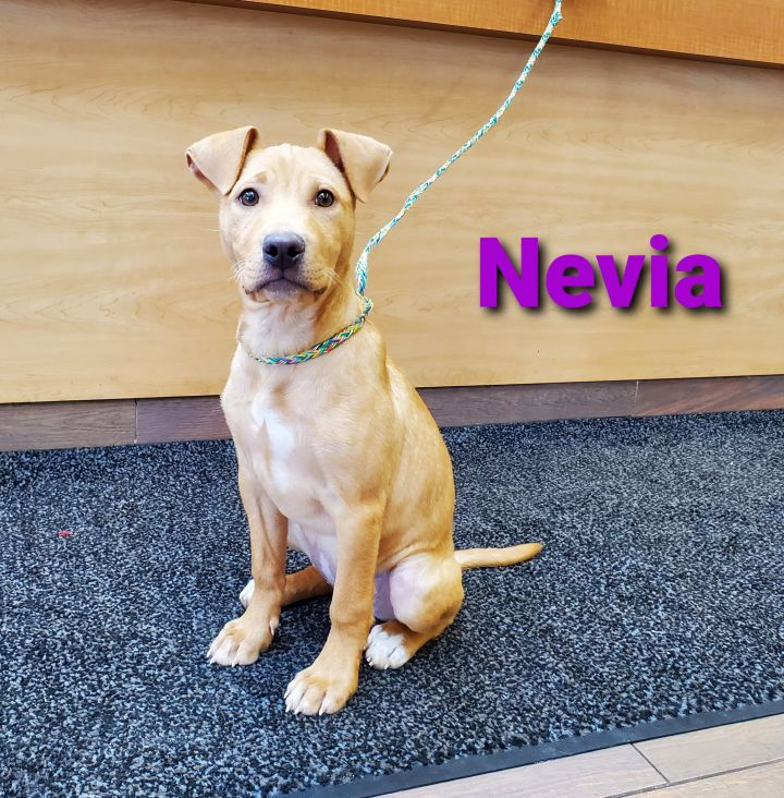 Nevia, an adopted Labrador Retriever & Hound Mix in Naperville, IL_image-1
