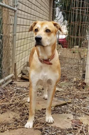 Ringo 2 year old Lab Mix He looks like a small yellow lab He weighs about 45 pounds He was