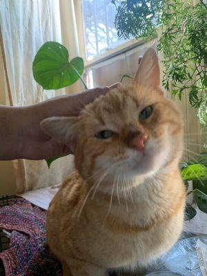 Garfield Tabby Cat