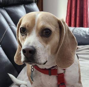 Mello (beagle perfection)