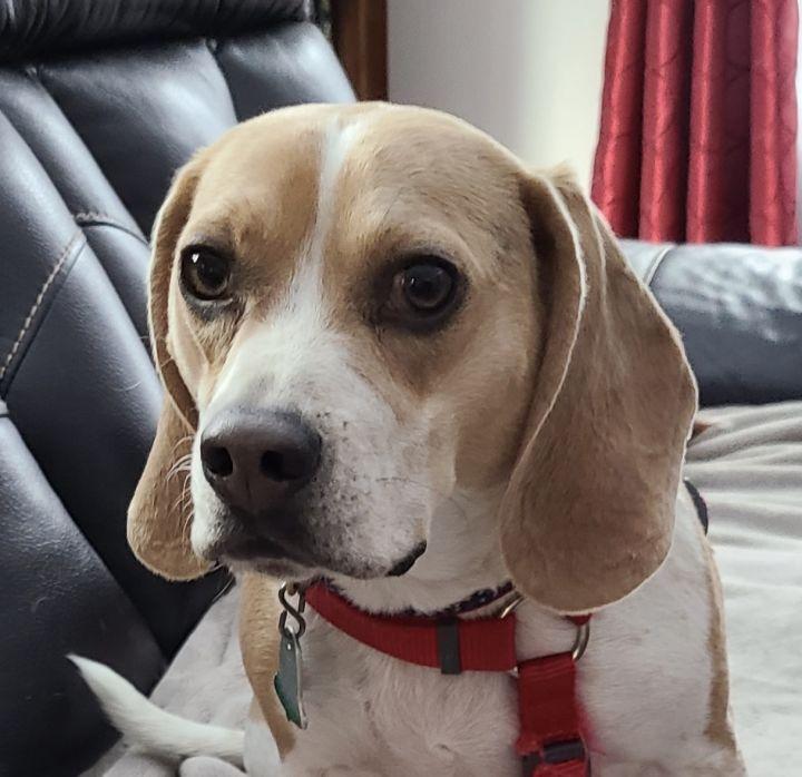 Mello (beagle perfection) 1