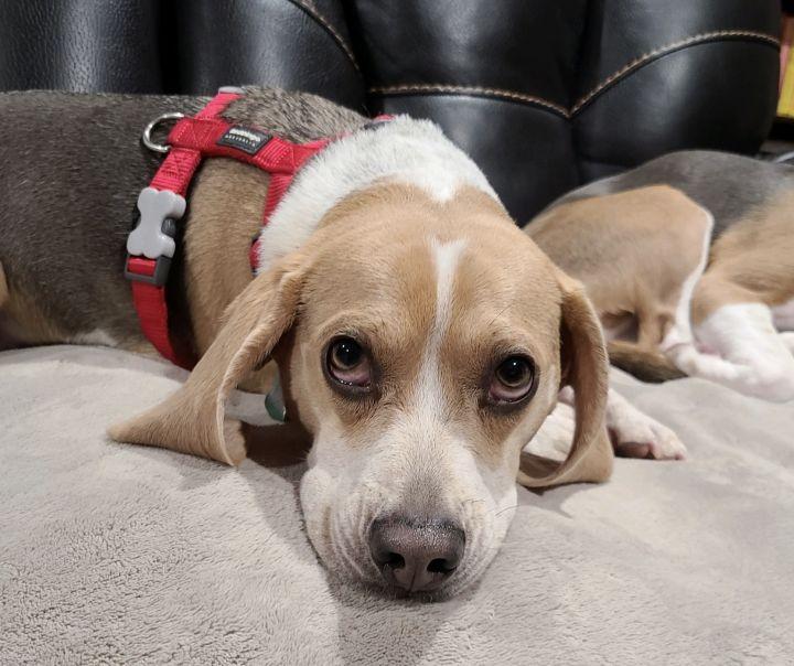 Mello (beagle perfection) 2