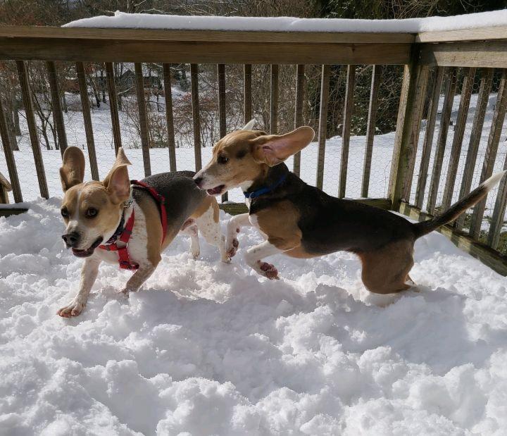 Mello (beagle perfection) 3