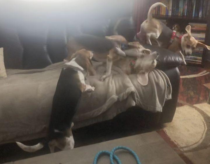 Mello (beagle perfection) 4