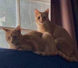 Mirri and Nuri Tabby Cat