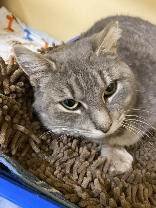 Sweetie, an adoptable Domestic Short Hair in Clarks Summit, PA