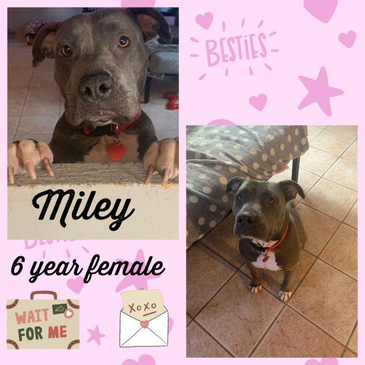 MILEY - 6 YEAR PIT BULL FEMALE 1
