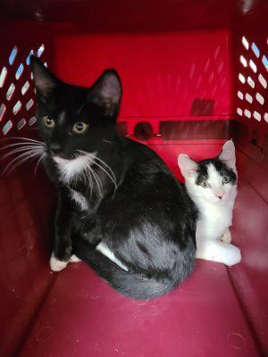 Mozart & Melody Tuxedo Cat