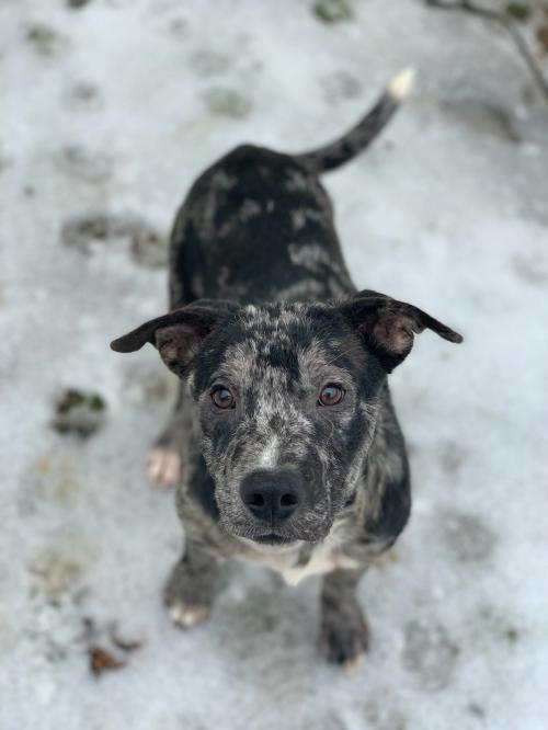 Pup Comet, an adopted Catahoula Leopard Dog Mix in Washington, DC