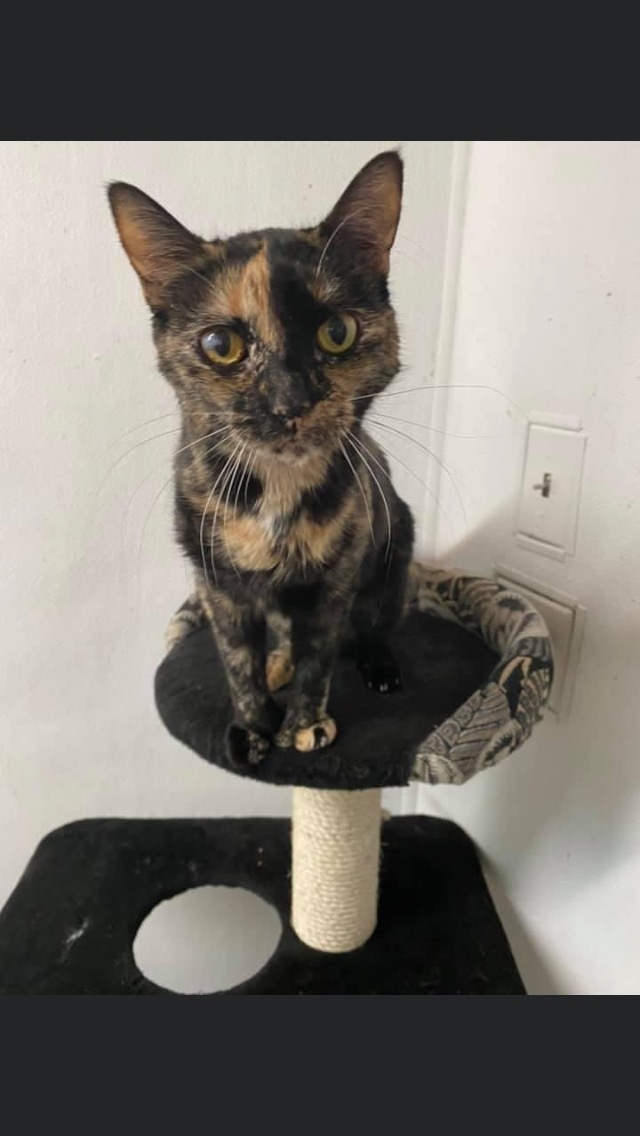 Vocal Vanessa, an adopted Tortoiseshell in Randolph, MA