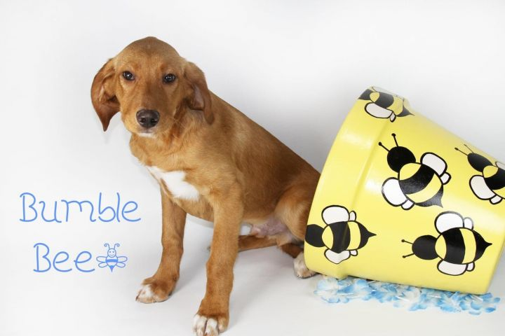 Bumble Bee, an adopted Labrador Retriever Mix in Joliet, IL