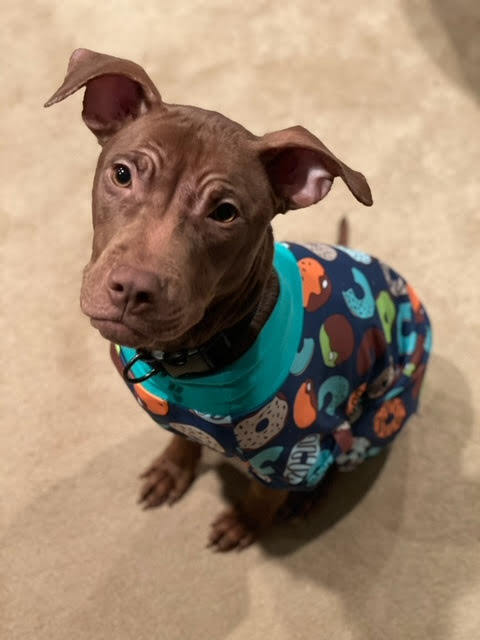 Nugget, an adoptable Pit Bull Terrier & American Staffordshire Terrier Mix in Villa Park, IL