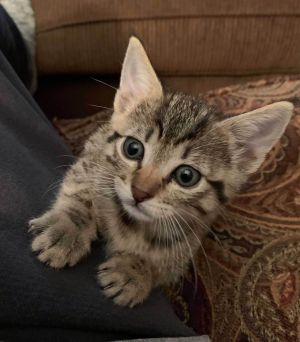 There is nothing shy about this little sweetie She is playful curious and cuddly and she has a k