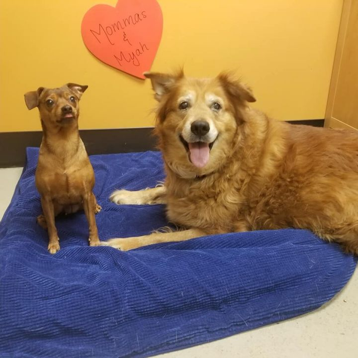 Mommas & Myah, an adoptable Retriever & Chihuahua Mix in Bellingham, WA