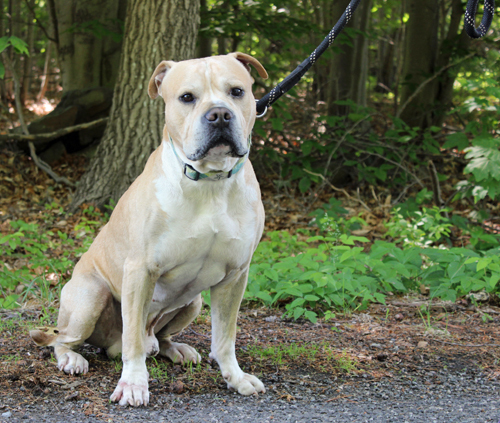 Mack, an adoptable Pit Bull Terrier Mix in Mansfield, MA