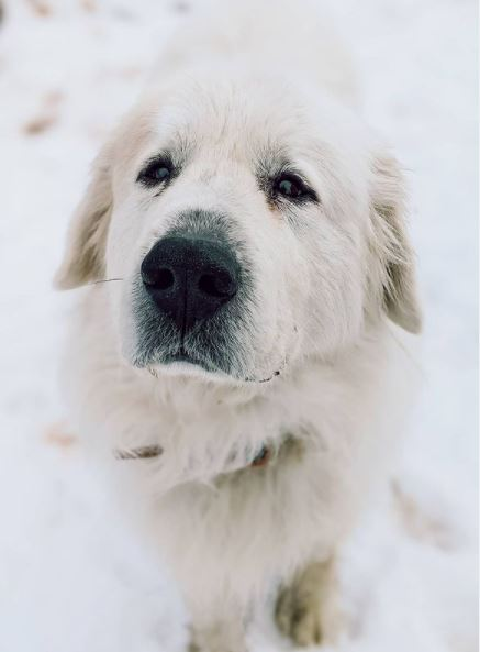 Wink, an adopted Great Pyrenees Mix in Rifle, CO