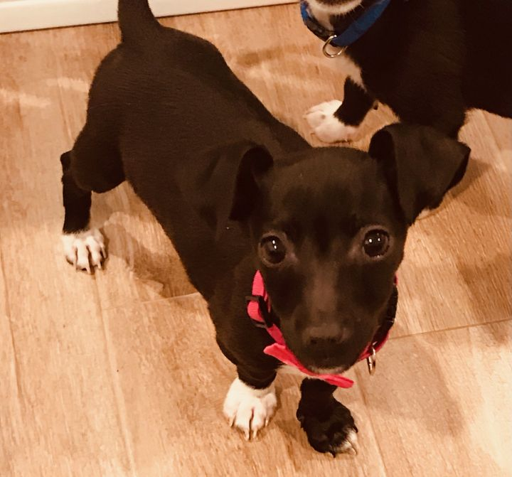 Lulla Belle, an adopted Chihuahua & Dachshund Mix in Staten Island, NY