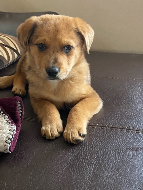 Dinah, an adopted Australian Shepherd & Chow Chow Mix in Staten Island, NY