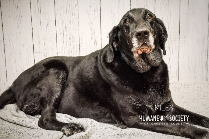 Miles, an adoptable Labrador Retriever Mix in Johnstown, PA