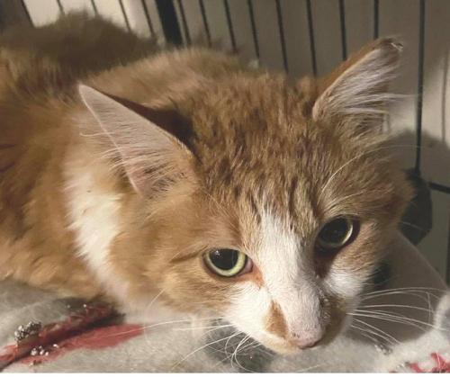 Gingersnap -- Bonded w/ Marshmellow, an adopted Domestic Long Hair Mix in Hillside, IL