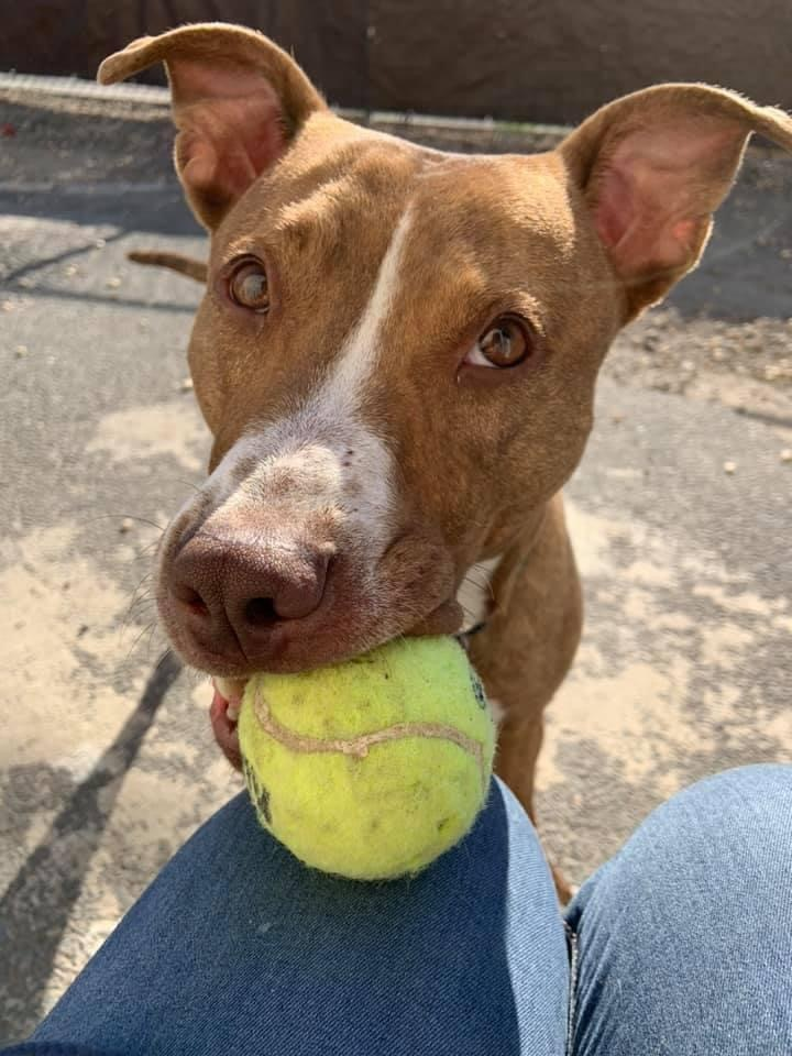 Ziggy, an adoptable Pit Bull Terrier Mix in Medford, NY_image-1