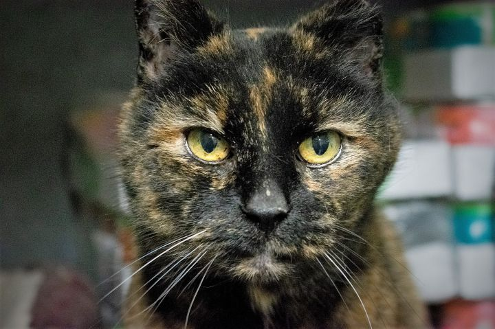 Minerva, an adoptable Domestic Short Hair in South Ozone Park, NY