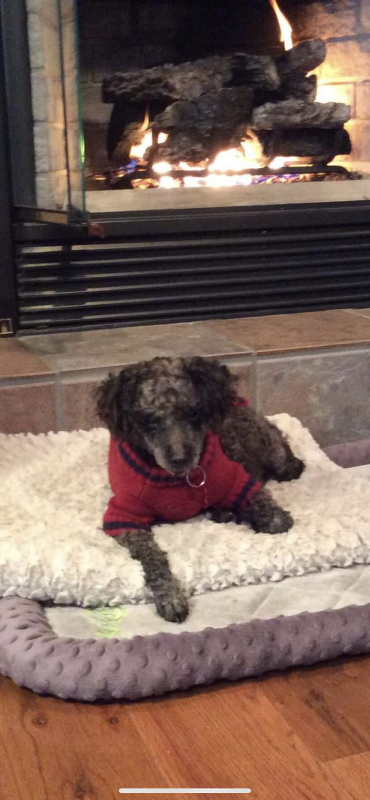 Audi, an adoptable Miniature Poodle Mix in Springfield, MO