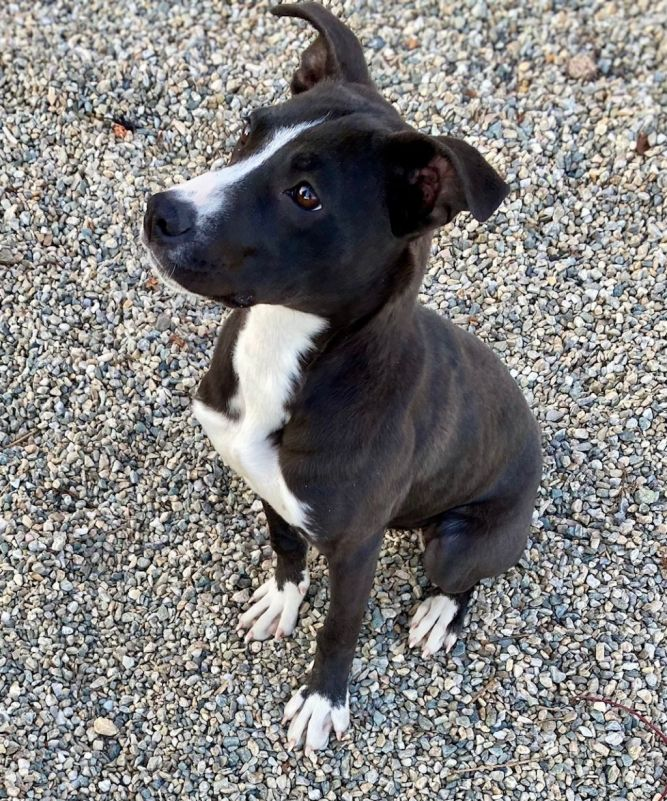Trixie (PLEASE READ DESCRIPTION CAREFULLY IN REGARD TO ADOPTION PROCESS AND REQUIREMENTS.  WESTPORT ANIMAL CONTROL DOES NOT ALLOW DROP IN'S IN REGARD TO MEETING DOGS.)