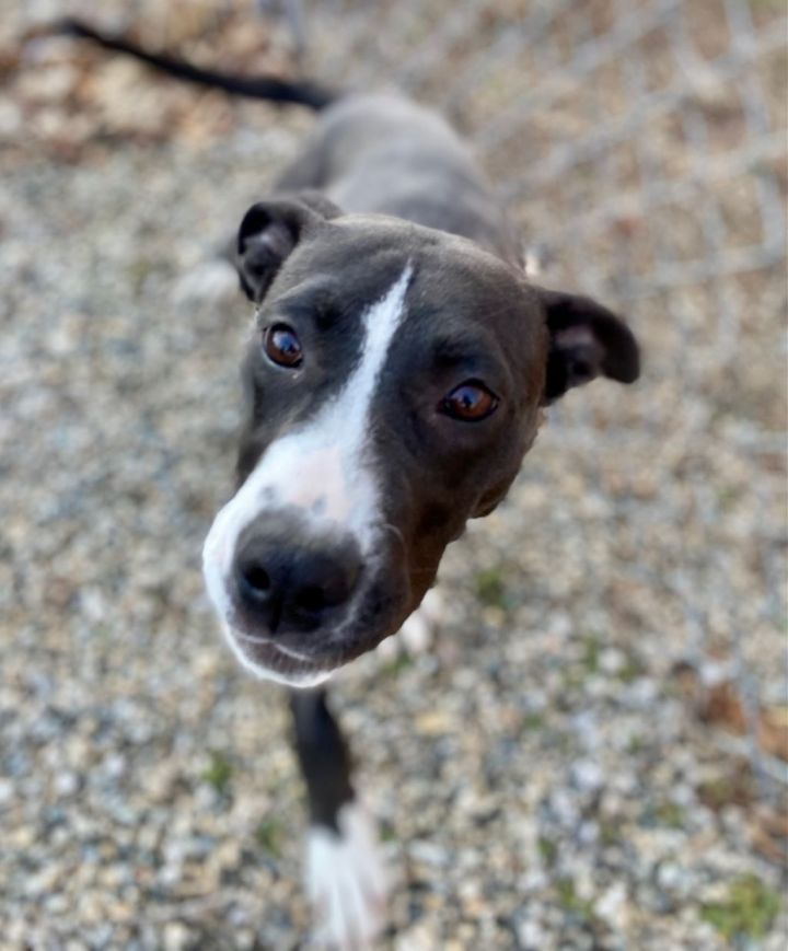 Trixie (PLEASE READ DESCRIPTION CAREFULLY IN REGARD TO ADOPTION PROCESS AND REQUIREMENTS.  WESTPORT ANIMAL CONTROL DOES NOT ALLOW DROP IN'S IN REGARD TO MEETING DOGS.) 2