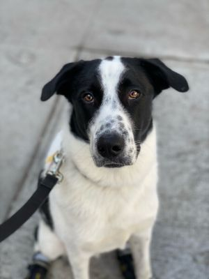 BASIL - 1 YEAR Neutered PYR Mix HIgh Active PRIMARY DOG EXPERIENCE ONLY Verified Mostly perfect