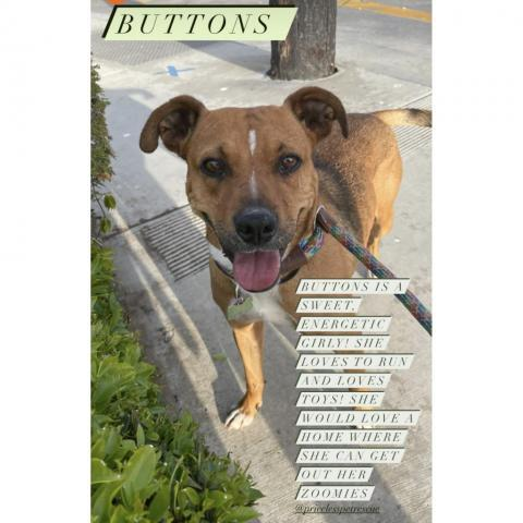 Buttons - Costa Mesa Location, an adoptable Shepherd & Pit Bull Terrier Mix in Chino Hills, CA