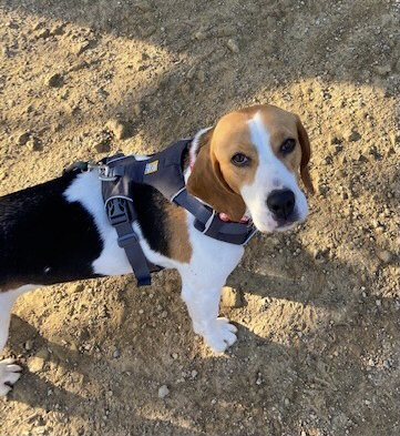 Lacy, an adopted Beagle in Valley Village, CA_image-1