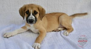 Hi meet Baily Baily is a lovely Shepard mix a few month old He is very sweet and obedient He