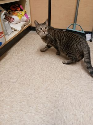 Rufus, an adoptable Domestic Short Hair in Rowlett, TX