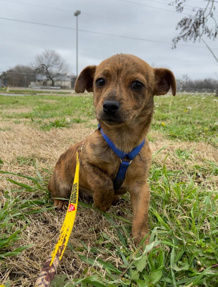 Henry, an adopted Chihuahua & Terrier Mix in Uvalde, TX