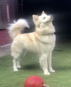 JaJa Husky Dog