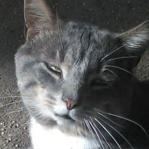 Sweet Shadow is a 4-5 year old FIV very handsome grey and white gentleman of a cat He is polite