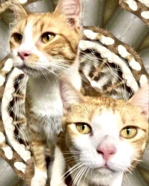Hello our names are Nala and Simba We are about 2-3 years old and bonded brothers We are stereot