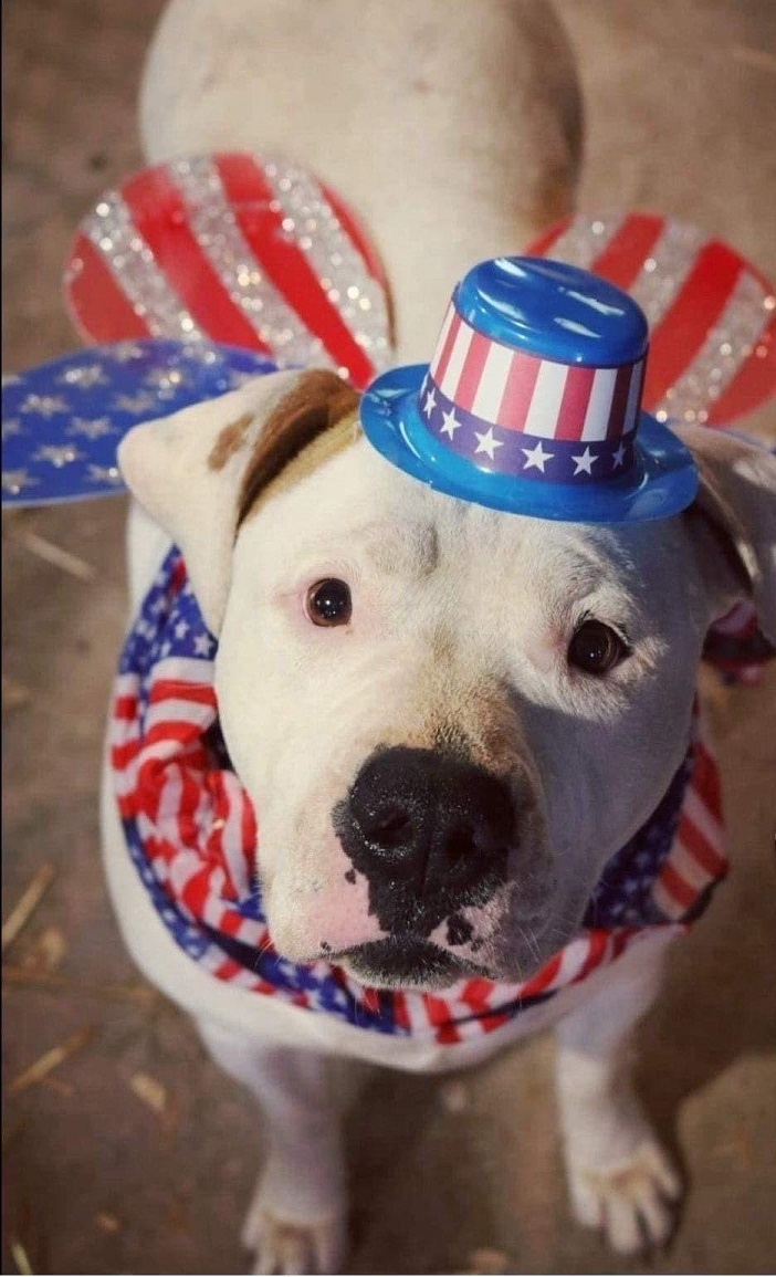 Mystique, an adoptable American Bully Mix in Lake Odessa, MI