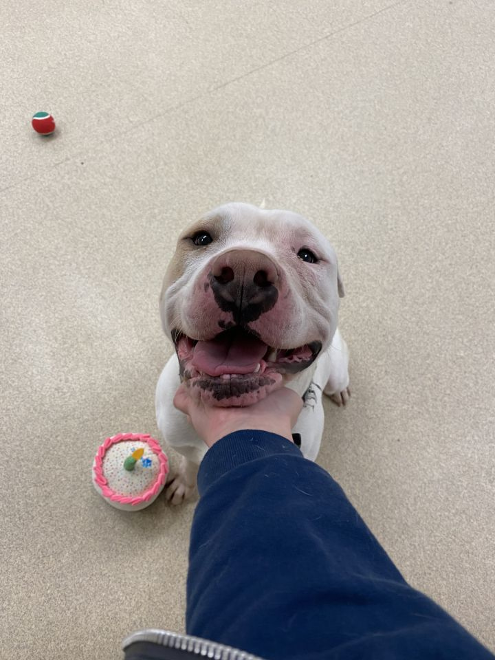 Chance, an adoptable Pit Bull Terrier & Shar-Pei Mix in Naperville, IL