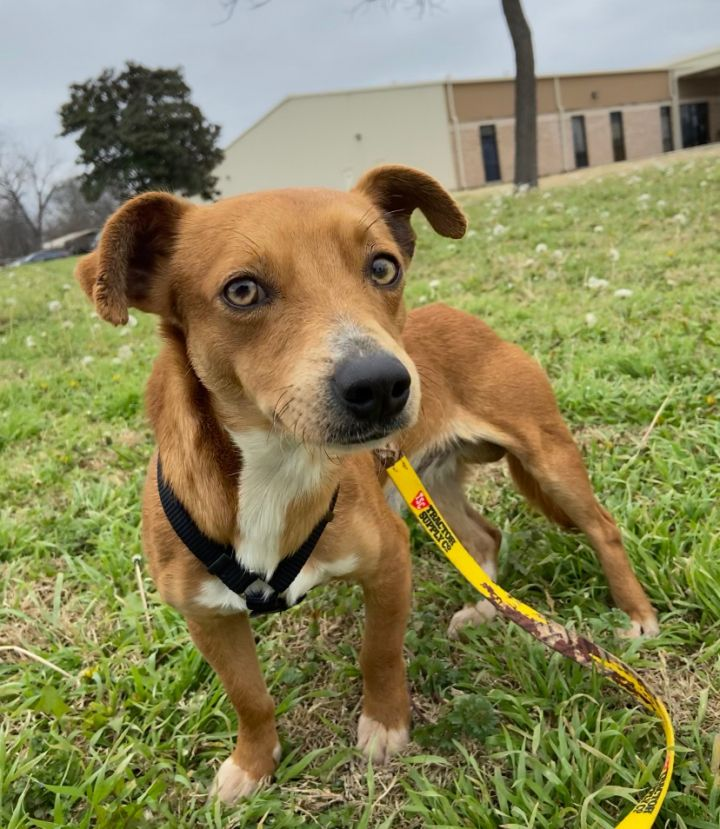 Hank, an adopted Chihuahua & Terrier Mix in Uvalde, TX