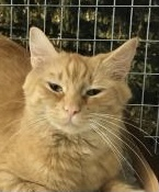 This gorgeous girl is Rain She is a 3 year old fluffy orange Tabby and she came to us on
