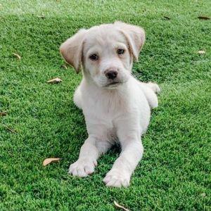 Pretzel Beagle Dog