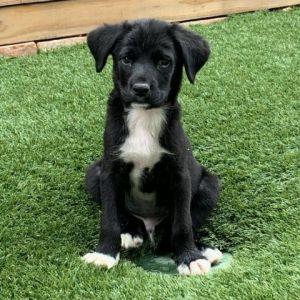 Strudel Beagle Dog
