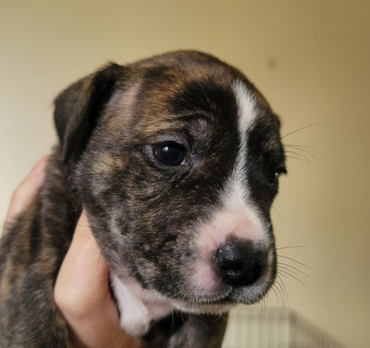Katie, an adopted Boxer Mix in Manhattan, KS