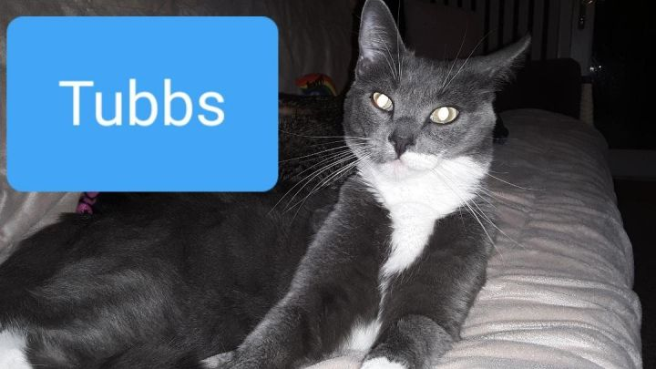 Tubbs, an adoptable American Shorthair & Domestic Short Hair Mix in Penndel, PA_image-1