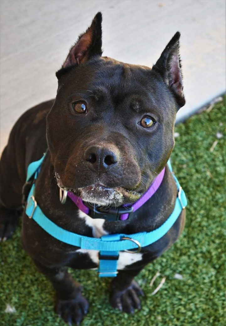 Naggy, an adopted American Staffordshire Terrier Mix in Derwood, MD_image-3