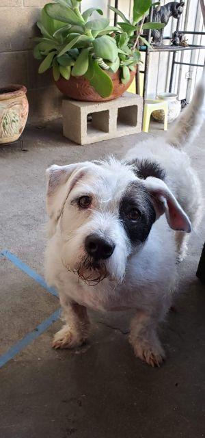 Spud Basset Hound Dog